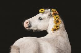 """Dusetu mākslas galerija piedāvā izstādi """"Zirgi fotogrāfijā"""""""